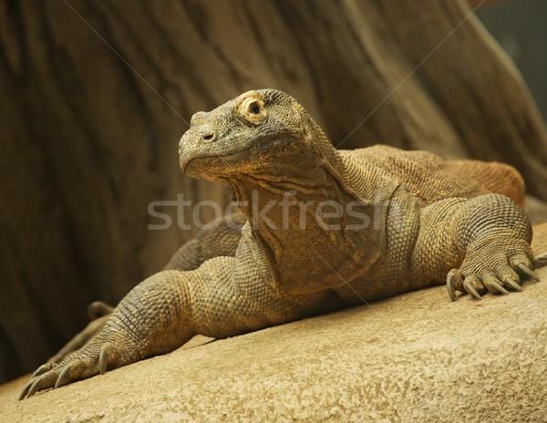 Close-up of a komodo dragon Stock photo © Nejron