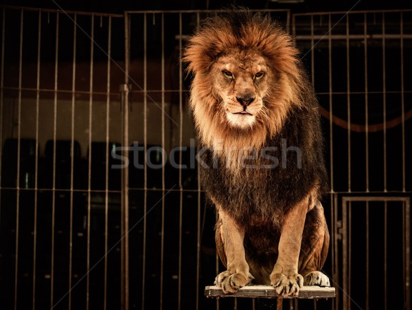 Leeuw circus kooi mond afrika hoofd Stockfoto © Nejron