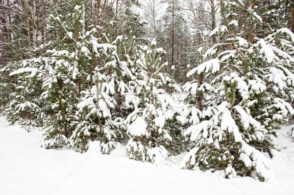 Winter bos boom landschap achtergrond groene Stockfoto © Nejron