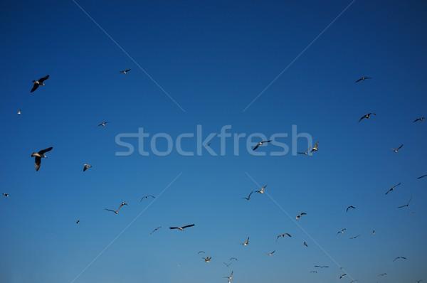Sereg madarak égbolt természet madár kék Stock fotó © Nejron