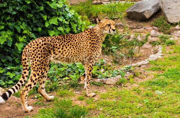 Stock photo: Beautiful cheetah walking outdoors
