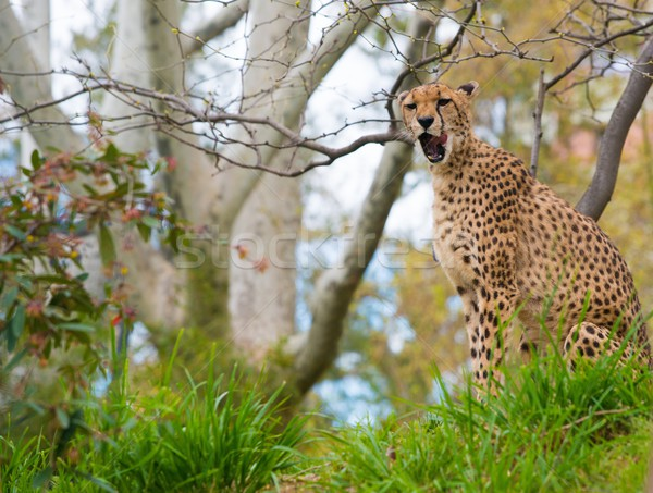 Beautiful cheetah  in natural habitat Stock photo © Nejron