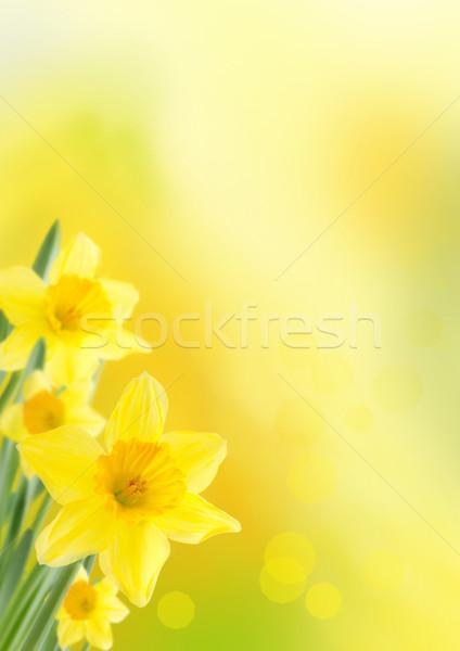Narcisos amarelo primavera páscoa flor flores Foto stock © Nelosa
