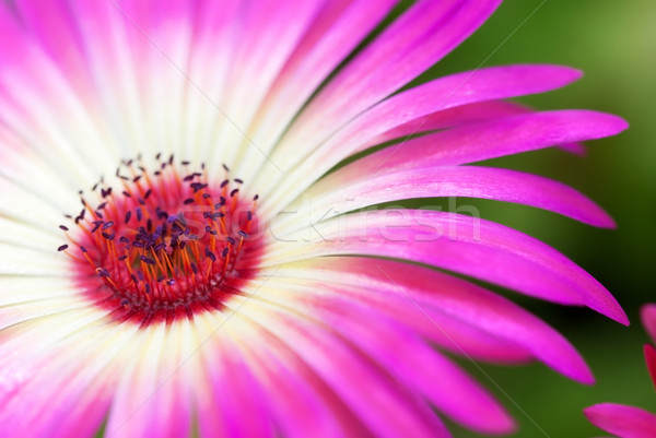 Güneşli papatya çiçek pembe yeşil Stok fotoğraf © Nelosa