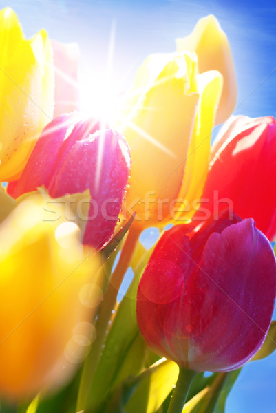 Sunny Blue Sky With Bouquet Of Tulip Flowers Stock photo © Nelosa