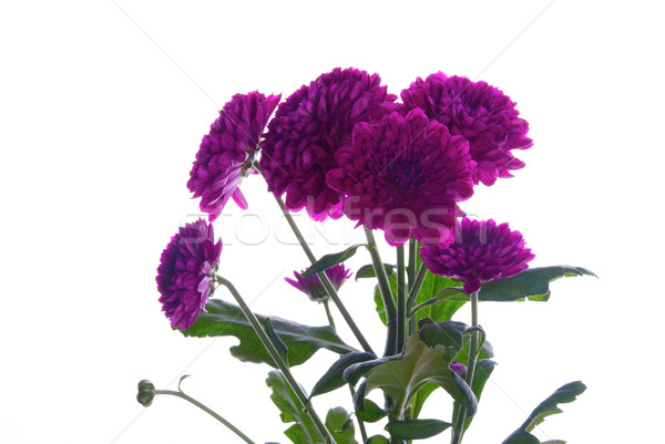 Purple Flowers Stock photo © Nelosa