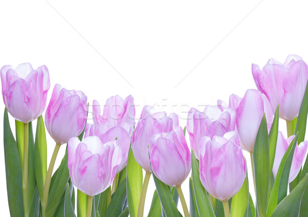 Tulips as Background Stock photo © Nelosa