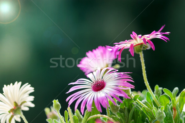 Sunny Close Up Of A Few Daisy Flowers On Flower Meadow Stock photo © Nelosa