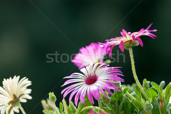 Close Up Of A Few Daisy Flowers On Flower Meadow Stock photo © Nelosa