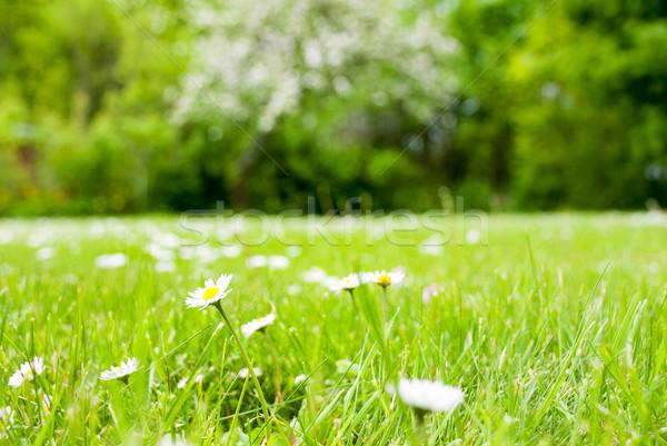 весны трава луговой Daisy цветы Сток-фото © Nelosa