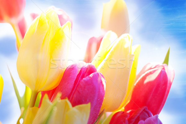 Close Up Of Sunny Tulip Flower Meadow With Waterdrop And Blue Sky Stock photo © Nelosa