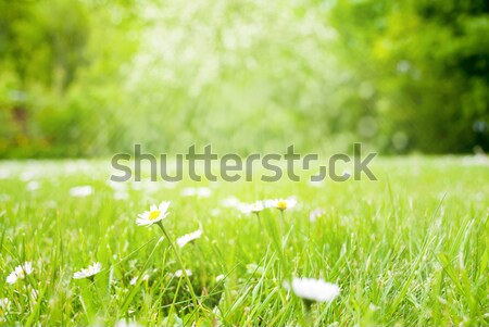 Meadow With Daisy Flowers, Copy Space, Sun And Sunshine Stock photo © Nelosa
