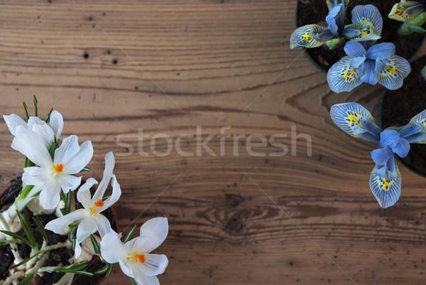 Açafrão jacinto cópia espaço anúncio flores da primavera Foto stock © Nelosa