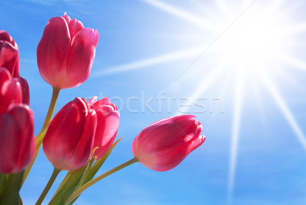 Close Up Of Tulip Flower Meadow With Sunny Blue Sky Stock photo © Nelosa