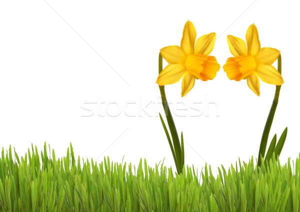 Two Yellow Daffodils Stock photo © Nelosa