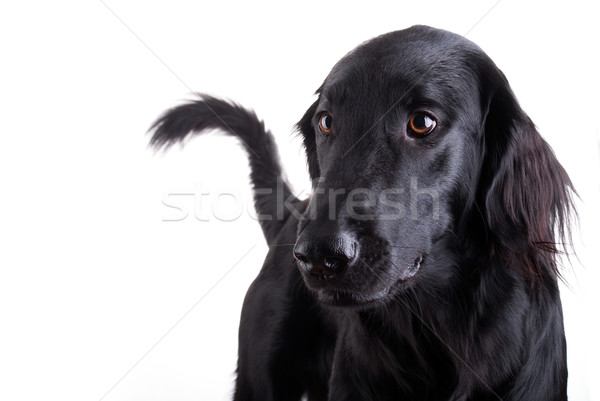 Black Dog Stock photo © Nelosa