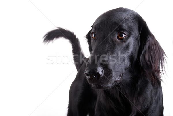 Zwarte hond reusachtig permanente horloge vrouwelijke Stockfoto © Nelosa