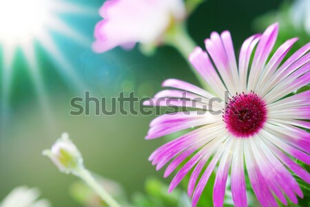 Sunny Close Up Of Daisy Flower On Flower Meadow Stock photo © Nelosa