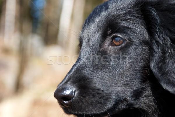 close puppy dog face Stock photo © Nelosa