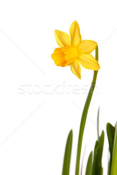 Yellow Narcisse Stock photo © Nelosa