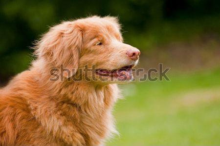 Pato retriever feliz raro cão Foto stock © nelsonart
