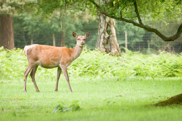 red deer doe Stock photo © nelsonart