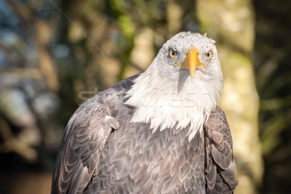 bald eagle portrait Stock photo © nelsonart