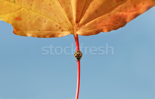 Outono joaninha amarelo preto grande folha Foto stock © nelsonart