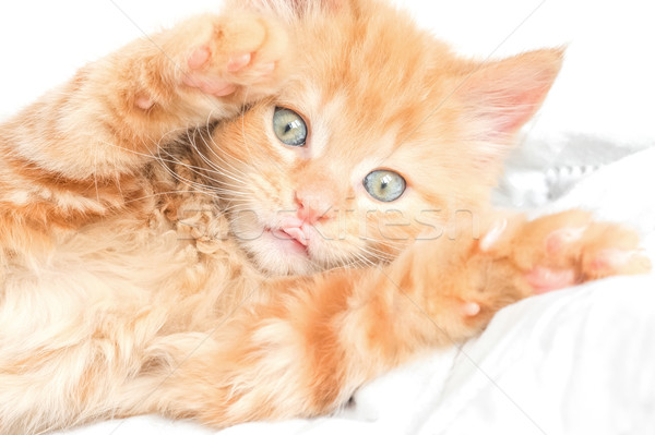 playful kitten Stock photo © nelsonart