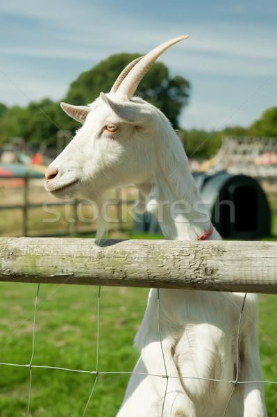 Capră alb uita copii portret animale Imagine de stoc © nelsonart