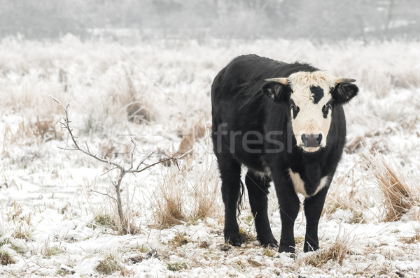 Stock photo: winter bull