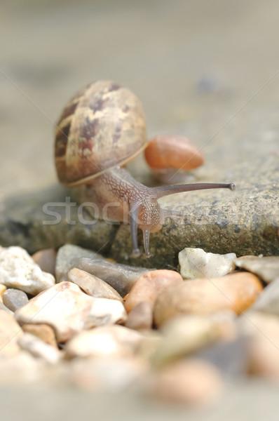 ślimak makro kamień charakter ogród Zdjęcia stock © nelsonart
