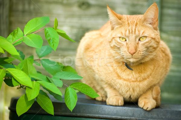 красный кошки красивой имбирь сидят тень Сток-фото © nelsonart