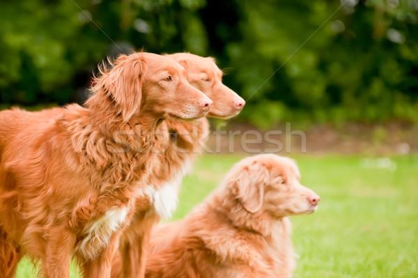 Stock fotó: Kacsa · három · ritka · fajta · kutya · kutyák