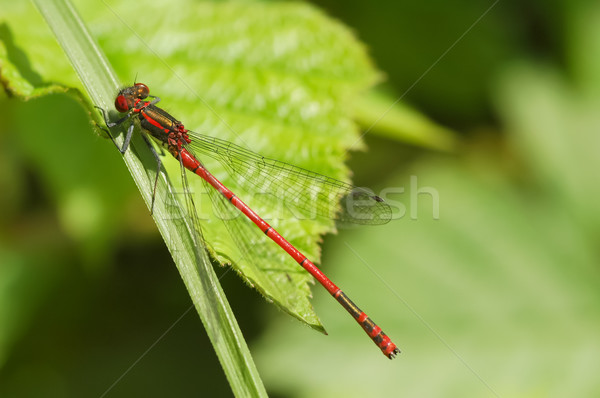 damselfly Stock photo © nelsonart