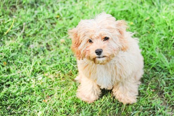 Innocente cucciolo guardare faccia cute cane Foto d'archivio © nelsonart