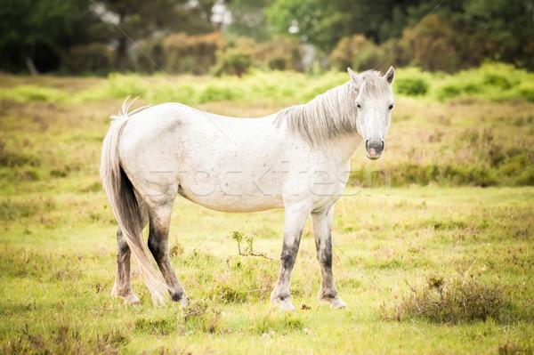 Nouvelle forêt poney britannique feuillage Photo stock © nelsonart