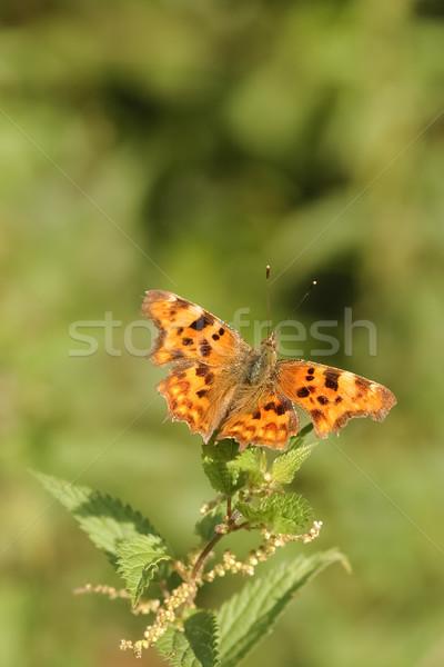 запятая бабочка красочный саду лет завода Сток-фото © nelsonart