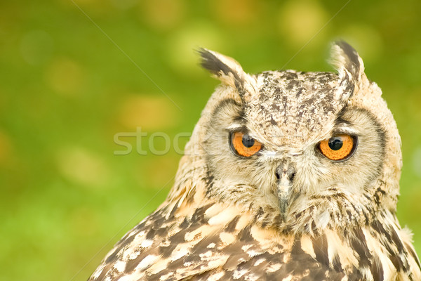 Eagle owl tête portrait yeux Photo stock © nelsonart