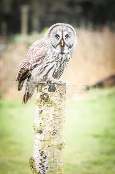 Uil grijs houten post natuur vogel Stockfoto © nelsonart