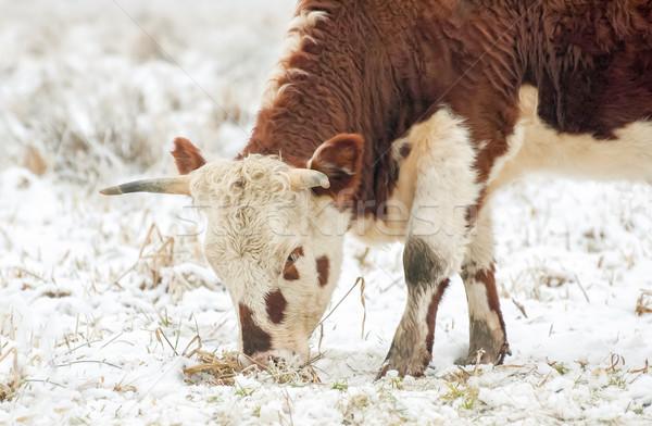 young bull grazing Stock photo © nelsonart
