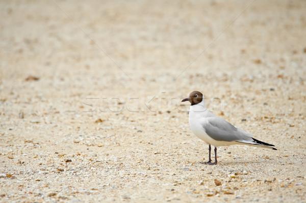 black headed gull Stock photo © nelsonart