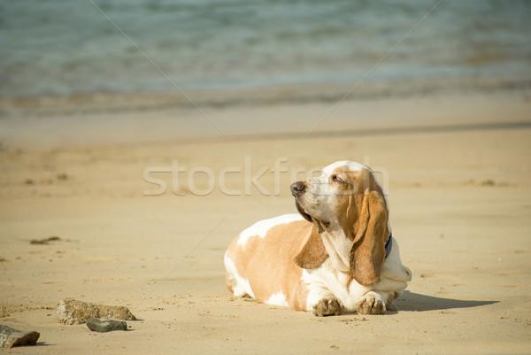 ビーチ 太り過ぎ ハウンド 太陽 犬 海 ストックフォト © nelsonart