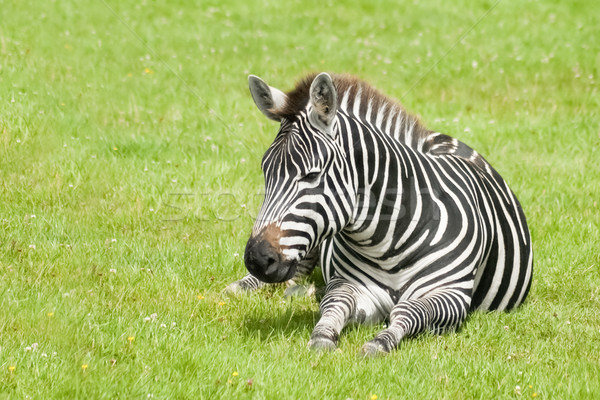 Zèbre jeunes herbeux prairie herbe cheval Photo stock © nelsonart