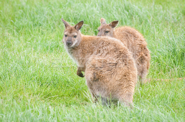wallabies Stock photo © nelsonart