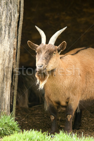 Cabra granja animales animales agricultura mascota Foto stock © nelsonart