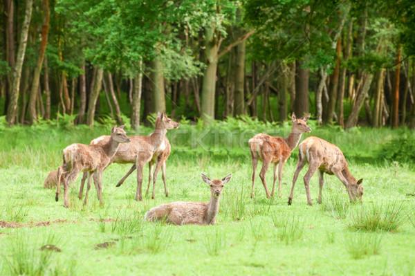 оленей красный Focus лес природы животные Сток-фото © nelsonart