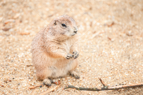 prairie dog Stock photo © nelsonart