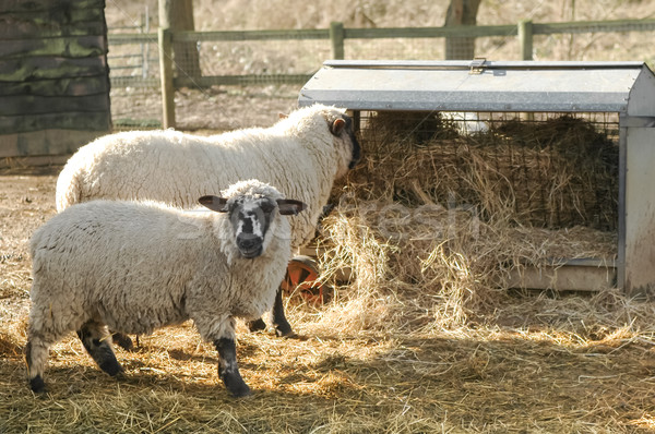 Stock photo: sheep feeding