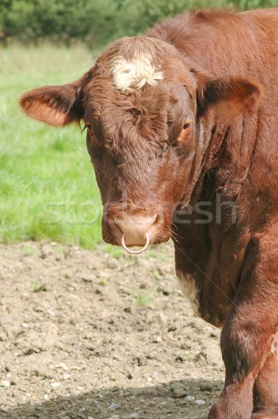 bull Stock photo © nelsonart